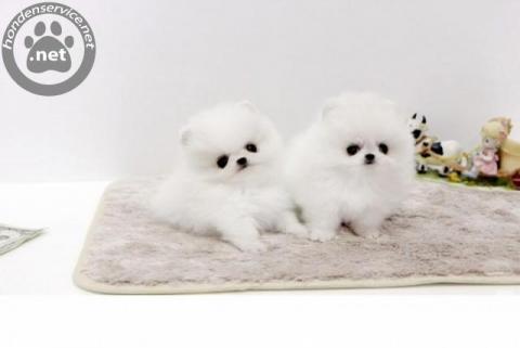 Pomeranian Puppy  Met Stamboom