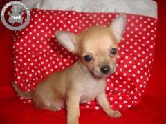 Chihuahua pups te koop