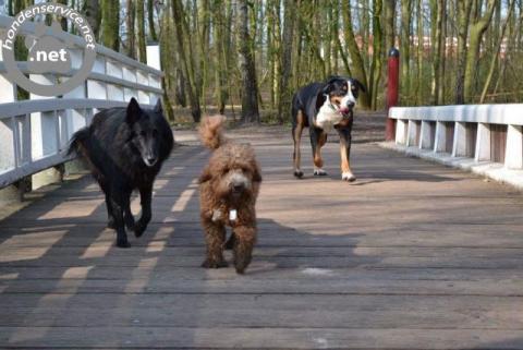 boomer puppies / pups maltezer x chihuahua